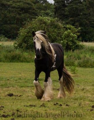 An English Horse