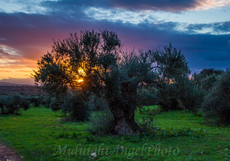 Sunset in an Olive Orchard