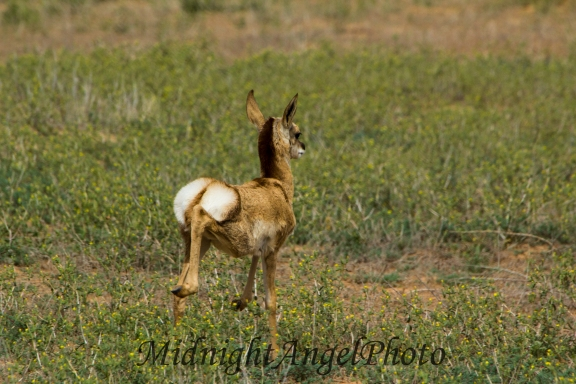 The Baby Pronghorn Flees