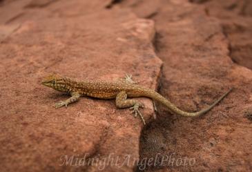 Little Lizard in Arizona