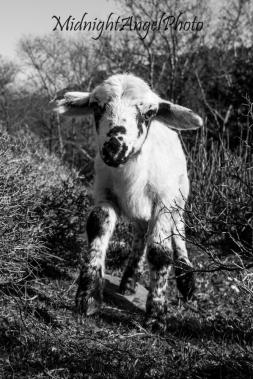 The Little Lamb of Diktamos
