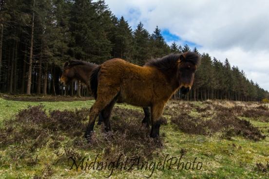 Wild Dartmoor Pony Colt