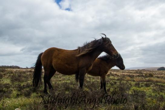 Wild Dartmoor Ponies