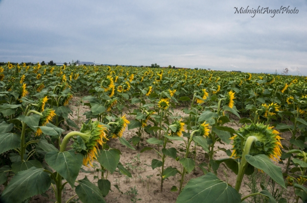 Sad Sunflowers