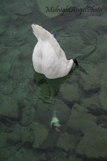 Swan in Geneva, Switzerland
