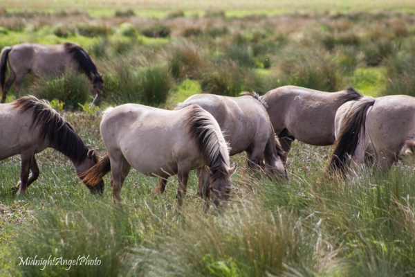 Konik Ponies at Wicken Fen