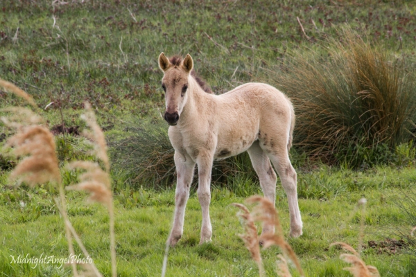 Konik pony foal at Wicken Fen