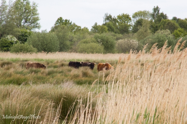 Highland cattle at Wicken Fen