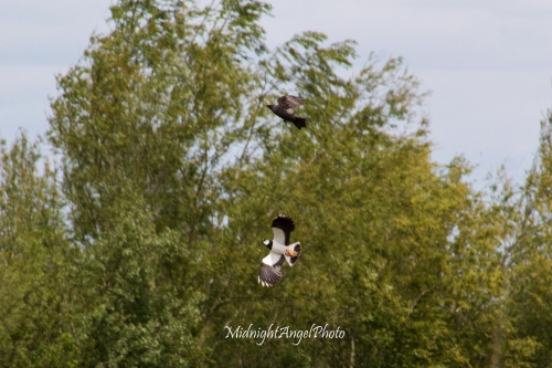 A lapwing harassing a crow at Wicken Fen