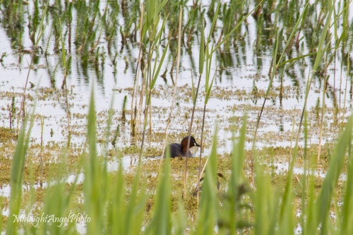 A little grebe at Wicken Fen