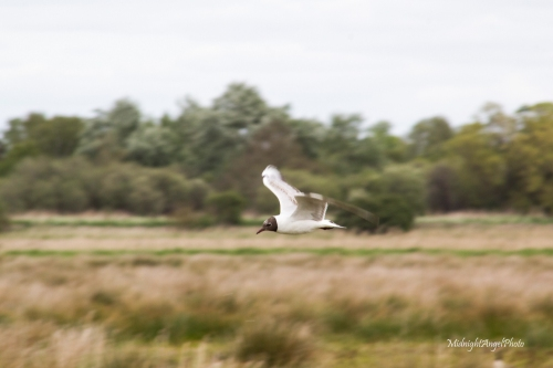A tern of some sort at Wicken Fen