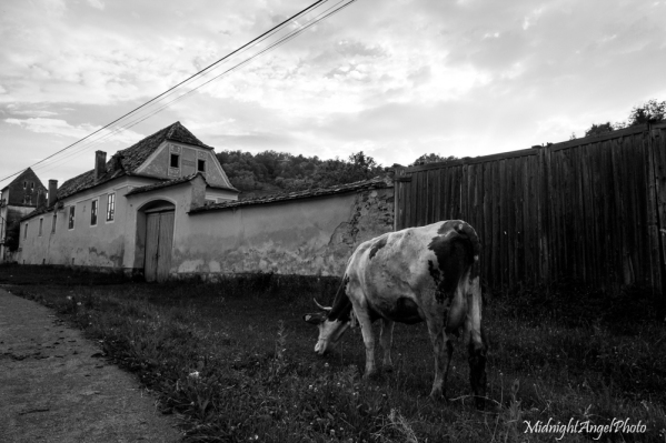 A cow along the roadside in Richiș, Romania