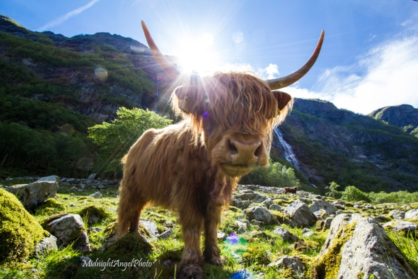 Highland cattle (from Scotland) in Norway!