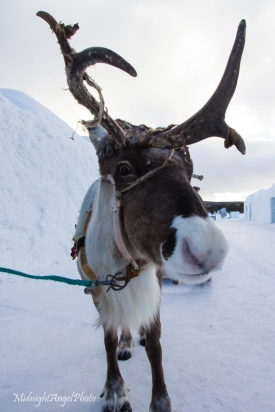 A little caribou they had giving children sleigh rides at the Ice Hotel