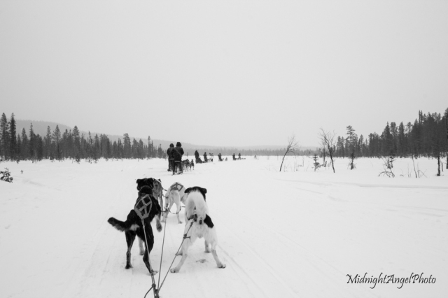 Dog Sledding back to the lodge while it was snowing