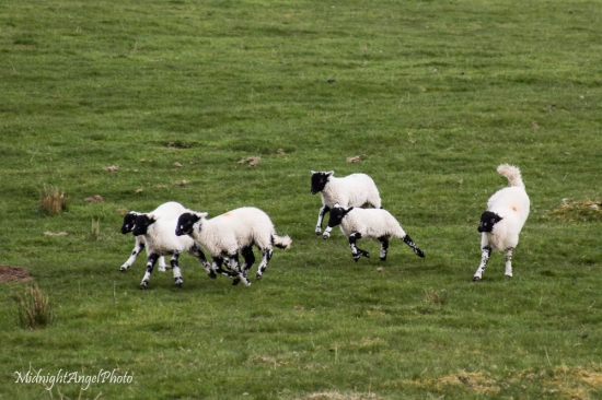 Lambs frolicking in the Lake District